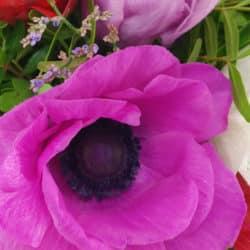 Anemone pink