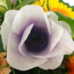 Anemone weiß