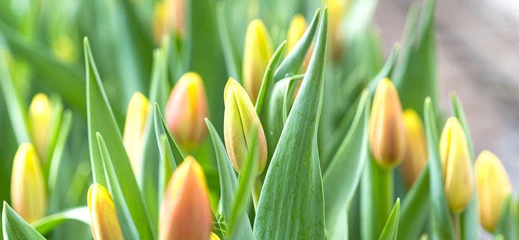 Heimische Blumen Tulpen Wallner