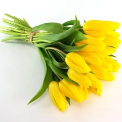 Tulpen pur in gelb
