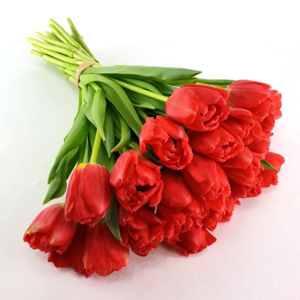Tulpen pur rot