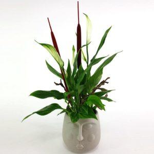 Spathiphyllumkopf