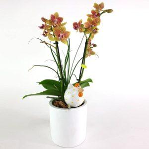 Phalaenopsis Nolina