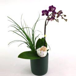 Phalaenopsis Nolina2